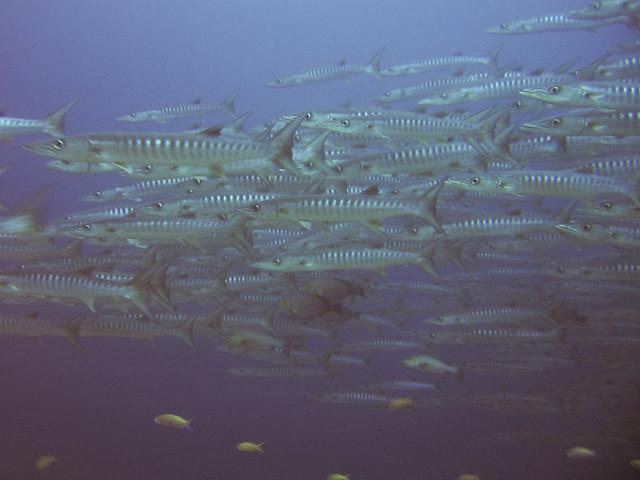 Barcode Barracuda, Sipadan Island, Malaysia
