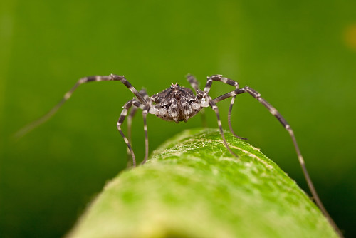 ... a friendly Harvestmen  ...