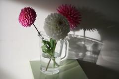 beautiful dahlia's (emily*w) Tags: dahlia