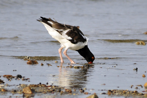 oystercatcher fishing