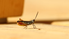 Grasshopper on terrace (Risto Hmlinen) Tags: summer animal finland insect terrace planet grasshopper larch tentacle plank antenna feeler