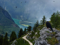 The buoyant acrobatic flights of the Alpine Choughs (Bn) Tags: lake germany bavaria berchtesgaden topf50 harrypotter kings fjord hikers crow paragliding thealps topf100 bluelake topf200 paragliders verticalpanorama alfredhitchcock kraai knigssee alpinechough corvidae yellowbilledchough pyrrhocorax stbartholom 100faves 50faves 200faves nationalparkberchtesgaden jennerbahn berchtesgadennationalpark crowfamily germanbavarianalps southofgermany alpenkauw stbatholom schnauamknigssee berchtesgadenalps cleanestlakeingermany stretchesabout77km formedbyglaciers nearborderwithaustria jennermountaintop1870m picturesquesetting sheerrockwalls playaflugelhorn steeplyrisingflanksofmountainsupto2700m hikingtrailsupthesurroundingmountains royalmountainexperience thebreathtakingalpinemountainsoftheknigssee