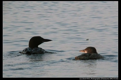 Common Loon adult and juvenile (Gavia immer)