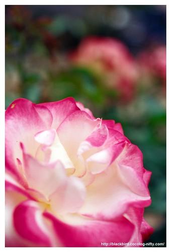 Rose 100522 #01