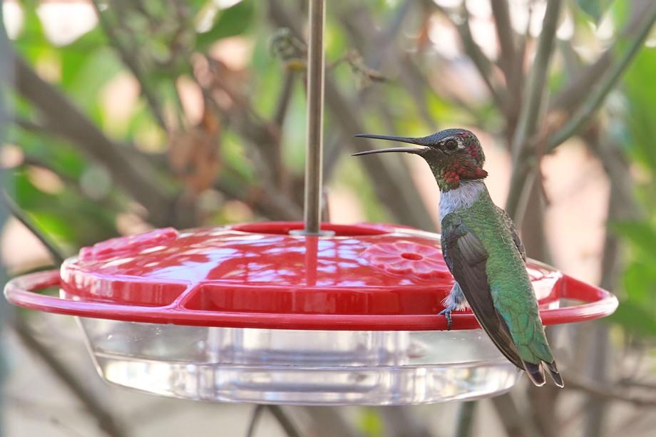 Anna's Hummingbird 09101