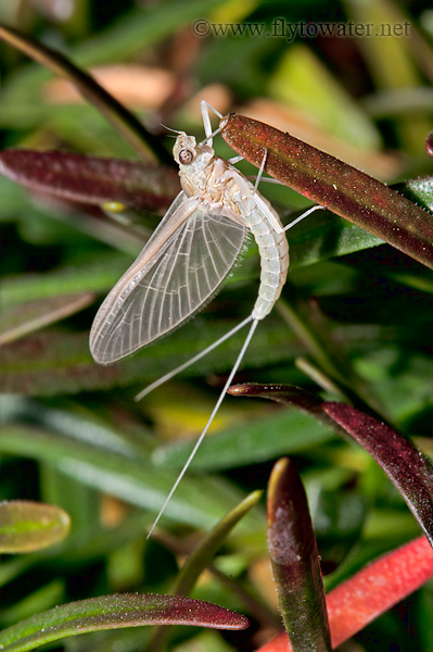 Mayfly Environmental Portrait