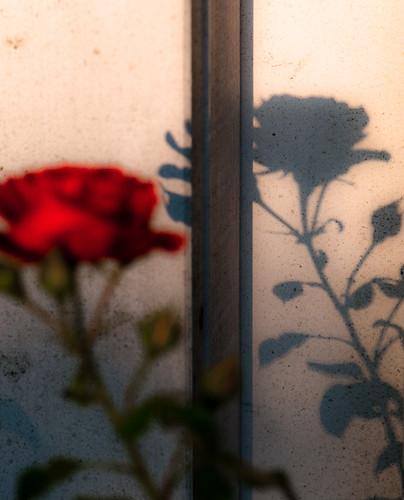 Rose 22288