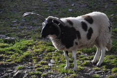 Jacob Sheep ... with 4 horns at Kells Sheep Centre (Marcus Meissner) Tags: bestof sheep marcus jacob centre august irland september kells reise 2010 studiosus meissner
