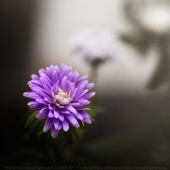 Esperanza (Isidr☼ Cea) Tags: light flower macro luz fog flor violet ps niebla dalia violeta rayos cs4 rarindraprakarsa olympuse520 zuikoed50mmf20