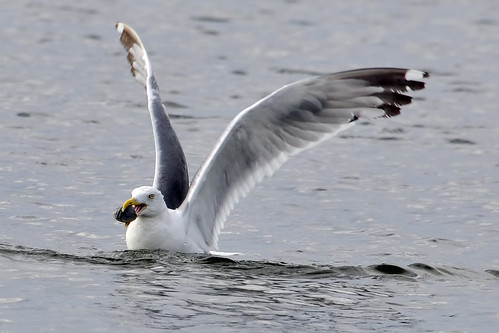 gull catches clam