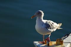 Saint Gilles-Croix-de-Vie : le port (damzed) Tags: port blanc oiseau vendée aficionados pêche atlantique océan goéland sigma70300apo pentaxk10d palmipède saintgillescroixdevie lemondemerveilleuxdelaphoto damzed