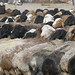 Rows of sheep at Yekshenba, Kashgar