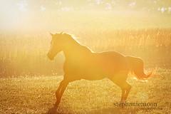 sun run (littlechefstef) Tags: horse columbusohio backlightin earlymorninglight morganhorse equinephotography