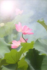 Flower / Lotus Flower - IMG_1463 (Bahman Farzad) Tags: flower macro fog lotus    lotusflower lotusflowers  lotuspetal lotuspetals    lotusflowerpetals lotusflowerpetal