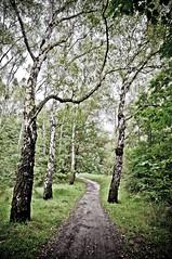 Birch - by marcinlachowicz.com