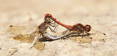 Dragonfly Mating (2206) (Mark Philpott) Tags: male nature female canon eos is dragonfly wildlife gloucestershire pools trust mating 18200mm 550d whelford markphilpottportfolio