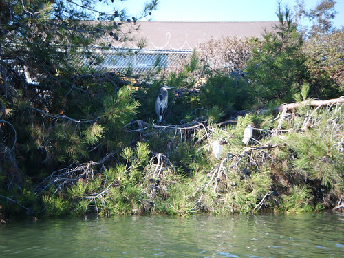 Great blue heron on Redwood Creek