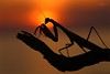 LA SANTA - SAINT MANTIS (Siprico - Silvano) Tags: canon mantis natura macros mantide potofgold macrofotografia naturesfinest mantidereligiosa cernuscosulnaviglio macrofografia buzznbugz siprico fotografianaturalistica soloreflex pricoco silvanopricoco wwwpricocoorg httpwwwpricocoorg wwwfotografiamacrocom