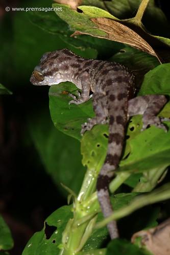 Gecko Lizard??