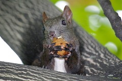 Squirrel: I am going nuts! (Go 4 IT) Tags: outdoors kitlens 365 amateur soe photohobby kitlenses anythingyoulike catchycolorsgroup flickraward flickrbronzeaward smcpda50200mmf456ed outstandingimages heartawards flickrsun floraandfaunaoftheworld peaceawards beautifulshot 100commentgroup doubledragonawards pentaxk7 flickrbronzeawardgroup everythinggoodinnature flickrbronzetrophygroup bestmagicofnature level1photographyforrecreation photohobbylevel1 blinkagainforinterestingimages photohobbylevel2 everythinggoodinnaturepremium evghenitirulnic