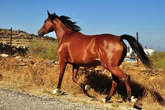 full trot (underwhelmer) Tags: horses island greece sifnos cyclades scr
