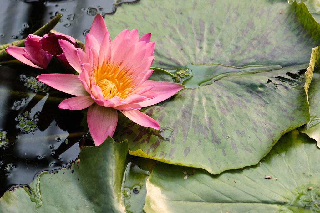 Water Lilies in Kobe Kachoen