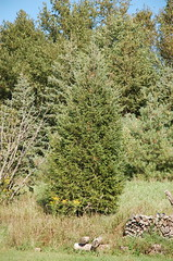 "White Spruce <a style=""margin-left:10px; font-size:0.8em;"" href=""http://www.flickr.com/photos/91915217@N00/4997801388/"" target=""_blank"">@flickr</a>"