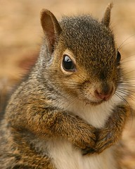 Furry Begger (Krisphotographer) Tags: portrait closeup squirrel close extender canonextenderef14xii specanimal canonef14xiiteleconverter