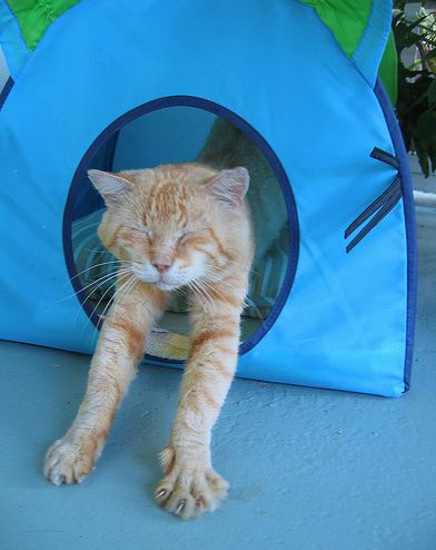 cute ginger cat stretching in the tent