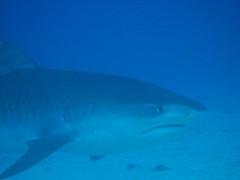 Hawaii Tiger Shark Shouji1