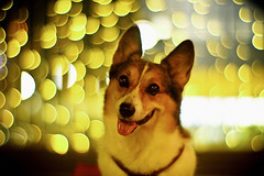 circle of confusion (moaan) Tags: light dog color smile smiling yellow digital pose 50mm corgi nightlights dof bokeh expression walk illuminations posing kobe utata welshcorgi stroll hue starry starlet 2010 f095 canonf095 rd1s pochiko epsonrd1s canon50mmf095  gettyimagesjapanq1 gettyimagesjapanq2