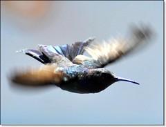 Asas em movimento... (Marina Linhares) Tags: bird birds pssaro pssaros beijaflor sebinho