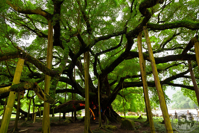 1500 Year Old Banyan Tree