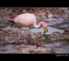 Cabizbajo (josefrancisco.salgado) Tags: chile bird fauna nikon desert flamingo ave desierto nikkor salar cl flamenco d3 pájaro sanpedrodeatacama salardeatacama saltflat desiertodeatacama atacamadesert repúblicadechile 70300mmf4556gvr reservanacionallosflamencos republicofchile iiregióndeantofagasta provinciadeelloa