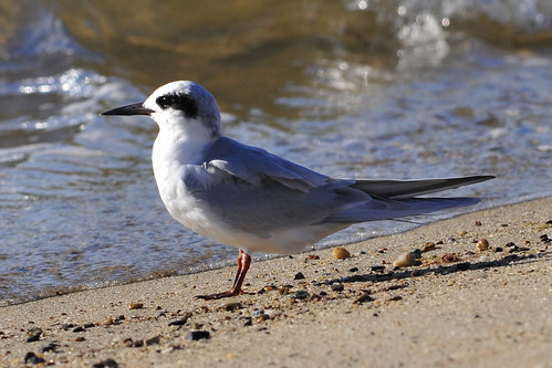 tern eyepatch