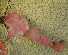 Parthenocissus 6 (kalliope_vorleserin) Tags: rot balkon herbst september parthenocissus wilderwein