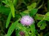 Wildflower (Blue thistle) in Haskell-Baker Wetlands, Lawrence, Kansas (danjdavis) Tags: lawrence wetlands kansas wildflower purplewildflower haskellbakerwetlands wakarusawetlands bluethistle