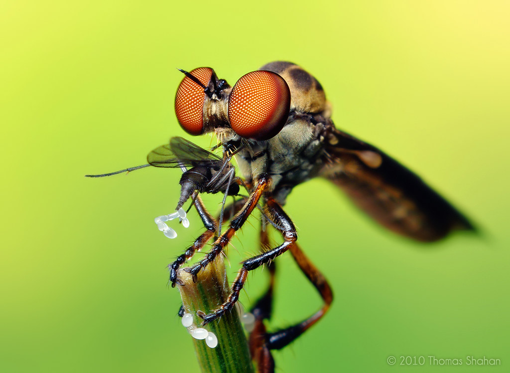 Bug close-up: Robber Fly with Prey