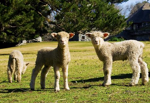 Pretty little Lambs