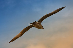 Gull floats in the air, taken by the sea scheveningen (drbob97) Tags: sea sky bird water netherlands by scheveningen gull taken zee lucht vogel zweven bestcapturesaoi mygearandmepremium mygearandmebronze