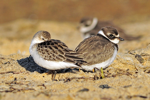 plover and peep Twins