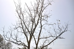 basking in summer's last brilliance (christiaan_25) Tags: blue sky sun tree sunshine silhouette silver sticks glow bare branches walnut twigs greatblueheron brilliance basking ardeaherodias gbh