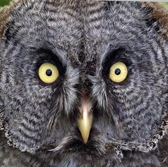 Great Grey Owl (Mr Grimesdale) Tags: olympus greatgreyowl owl birdsofprey e510 stevewallace mrgrimesdale