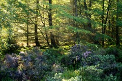 HeatherFairyForestNorthGlenSannox (Assja) Tags: autumn mountains fall water leaves forest landscape golden scotland highlands rocks stream heather herbst glen hills naturereserve valley bracken rowan isleofarran birches indiansummer birchtree schottland wirbel herbststimmung ruska naturreservat hochland wildbach zauberwald birkenwald farnkraut heidekraut ebereschen torfmoor remarkabletrees feenwald wildpfad thebrackenisgoldinthesun northendofarran subarktischestimmung
