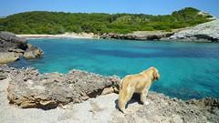 P1790307web (Toni_Darder) Tags: dog goldenretriever golden perros mascotas puppys