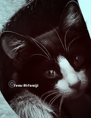 Cute Cat  th th .. th th .. (||~  ) Tags: portrait eye face animal cat canon hair eos rebel eyes photographer innocent ad xs lovely mustache tone   ksa               feras    lovelytone            1000d    alfuraiji