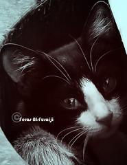 Cute Cat  th th .. th th .. (||~ فـراس الفريجـي) Tags: portrait eye face animal cat canon hair eos rebel eyes photographer innocent ad xs lovely mustache tone عين شنب ksa تصميم بس شعر أحلى صورة تصوير حلو قطوة ههه السعودية الرياض جميل حيوان عيون feras بورتريه وجه قط lovelytone قطة كانون هع بسة قطو تون هوع فراس فيس شارب هاع 1000d وصخ بايخ شنبات alfuraiji الفريجي هيع هعهاع