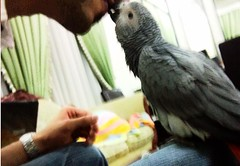 african grey (theyab_89) Tags: baby cute love grey nice kiss african parrot