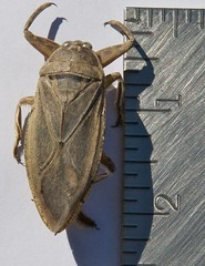 Giant Water Bug (1)