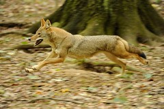 Coyote (Tyler Evert) Tags: coyote wildlife wv westvirginia frenchcreek